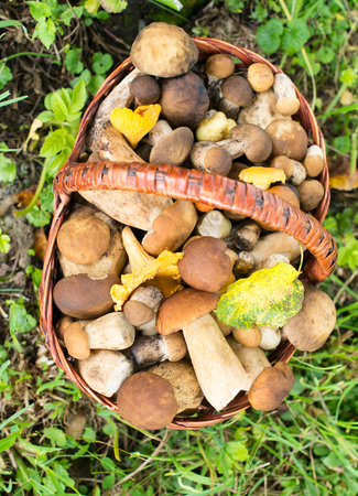 Mushrooms (porcini and chanterelles) in the wicker basket on the green grass.