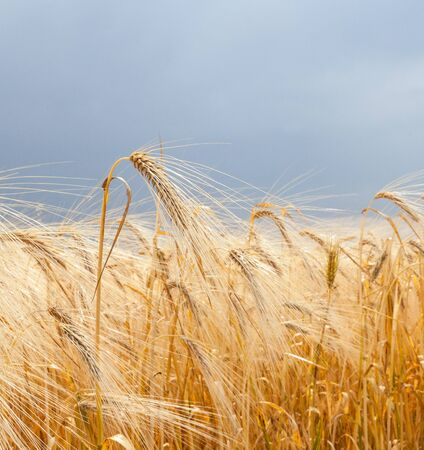 Field of ripe wheat (Triticum). Close-up of wheat ears.