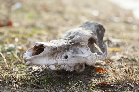 Animal's skull on the ground. Close up.