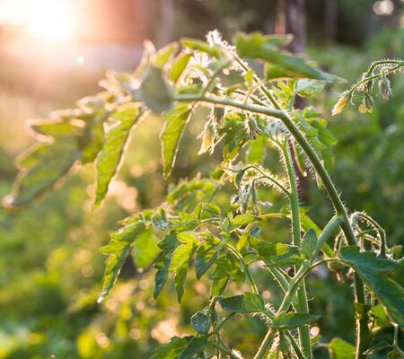 Growing the tomatoes. Young tomato plant in the sunshine.