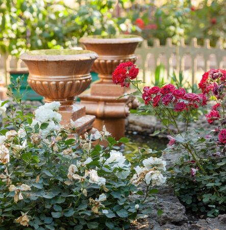 Pink and white roses, ceramic vases and artificial pond in the garden. Withering flowers. Garden design.