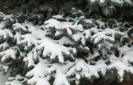 Coniferous branches covered with the snow. Fir-tree in the snow. Winter tree. Close-up.