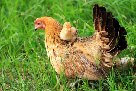Hen and chick on grass Stock Photo