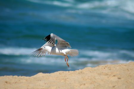 seagull taking off from a sand beach, blurred ocean in background Stock Photo