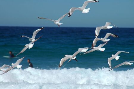 several flying seagulls, surfers in background, photo taken at Maroubra beach, Sydney Stock Photo