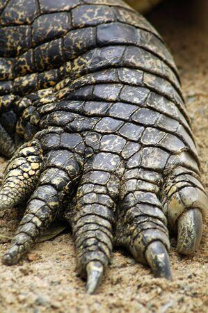 detail photo of salt water crocodile, shallow depth of field