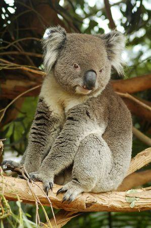 grey cute koala bear on a tree