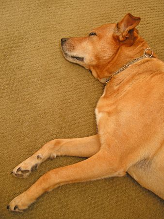 brown sleeping dog on a carpet, vertical photo Stock Photo