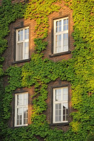 Windows on a wall covered with grapes vine, vertical photo photo