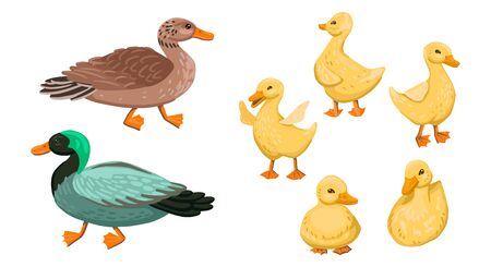Green drake, mother duck and children duckling. Walk with offspring on the farm. Village birds. Pets. Family of ducks and ducklings. Cartoon flat style illustration.
