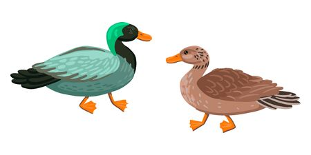 Two adult ducks, a male and a female. Green duck and mother duck. Vector characters on a white background. Ilustracja