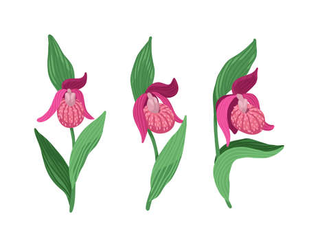 Ladys-slipper, Cypripedium, Rare plant, blooming wild flower, forest plant, vector flat drawing