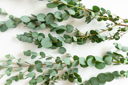 Green texture of eucalyptus branches on a white background