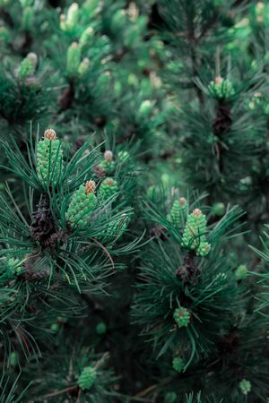 Pine tree forest. Closeup of fir-tree cones 版權商用圖片