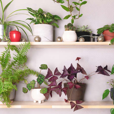 Wooden shelves with various houseplants. Home garden concept.