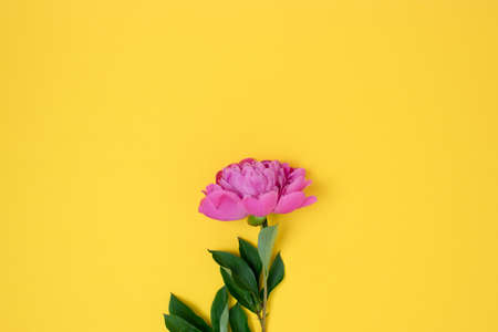 Flat lay with peony on a bright yellow background. Minimalist composition with plant.