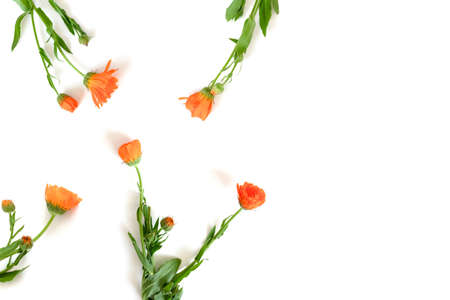 Calendula flowers on a white background. Floral eco concept with copy space.