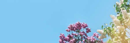 Banner with pink blooming lilac tree flowers. Sunny day with blue sky. Spring concept with place for your design.