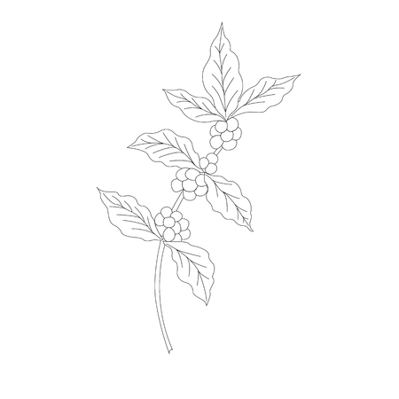 leaf line: Coffee branch, plant with leaf, berry.  Vintage drawn engraving illustration on white background for shop and cafe