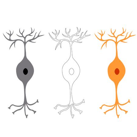 cellule nervose: neurone bipolare, cellule nervose dei neuroni, isolato su sfondo bianco Vettoriali
