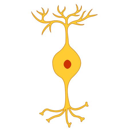 neurone: Bipolar neuron, Nerve Cell Neuron, isolated on white background Illustration