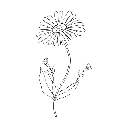 designation: Arnica. Vintage medicinal herb sketch. Botanical plant illustration, isolated.