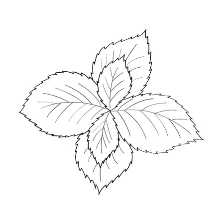 Mint peppermint fresh herb leaves plant hand drawn illustration. Sketch style. For traditional cuisine, medicine, treatment, cooking, gardening.