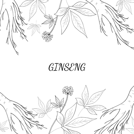 Root and leaves panax ginseng, sketch style hand drawn vintage illustration.