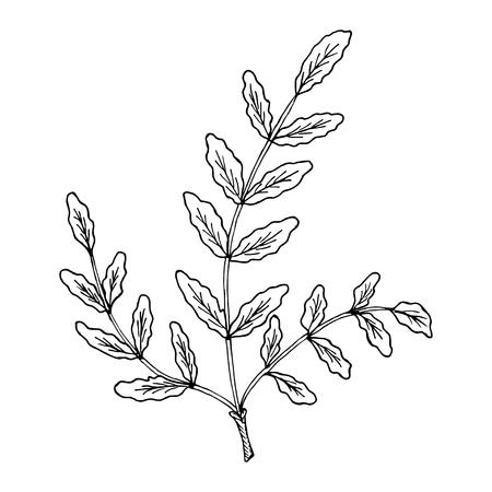 Indian Frankincense Salai or Boswellia serrata vintage illustration.