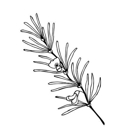 Rooibos tea plant, leaf and flower hand drawn sketch illustration. Illustration