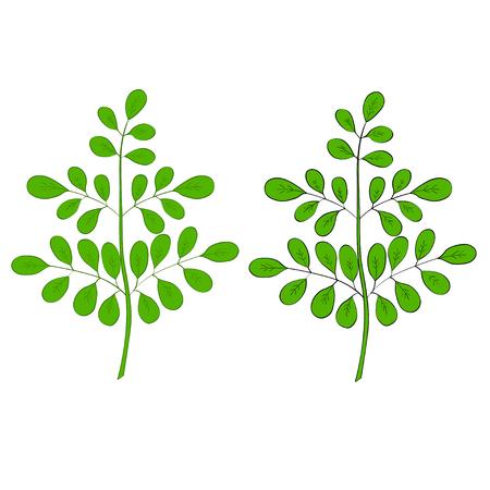 Moringa oleifera, medicinale plant. Hand getrokken botanische schets illustratie in kleur, geïsoleerd. Stock Illustratie