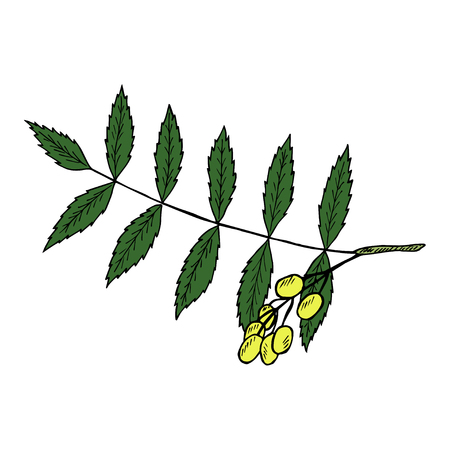 Neem or nimtree, medicinal plant. Ayurvedic Herb. Hand drawing ink illustration. Design for essential oil, natural cosmetics, treatment, aromatherapy, homeopathy. For print, poster, logo, label.