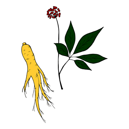 Root and leaves panax ginseng, sketch style. Hand draw vintage illustration of medicinal plants in color. For traditional medicine, gardening. Biological additives are.