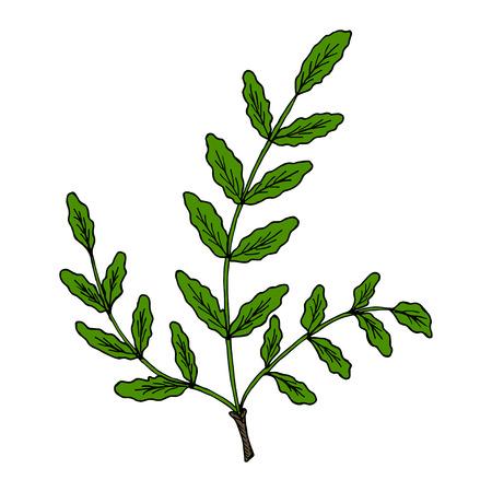 Illustrazione d'annata di serrata indiano di Boswellia del salmone o di Frankwell. Olibano-albero (sacra di Boswellia), albero aromatico. Illustrazione a base di erbe disegnata a mano di inchiostro Vettoriali
