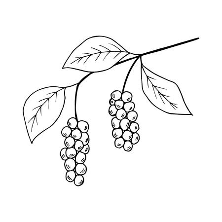 Chinese Schisandra Иллюстрация