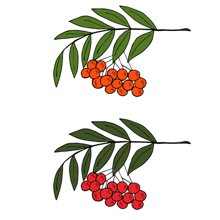 pit: Sketch rowan branch with berries, liner, in color Illustration