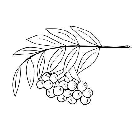 Un abbozzo di ramo di rowan con bacche.
