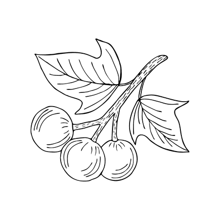 preserved: Kukui nut tree (Aleurites moluccana). Nuts, plant, berry, fruit natural organic butter ingredient. Hand drawn ink sketch illustration. Treatment, cosmetics, food ingredient. Isolated.