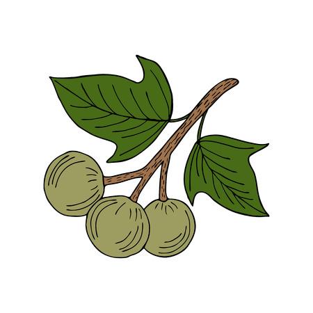 Kukui-Nussbaum (Aleurites moluccana). Nüsse, Anlage, Beere, natürlicher organischer Butterbestandteil der Frucht. Hand gezeichnete Tintenskizzenillustration. Behandlung, Kosmetik, Lebensmittelzutat. Isoliert. Vektorgrafik