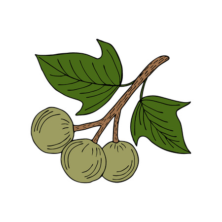 Kukui nut tree (Aleurites moluccana). Nuts, plant, berry, fruit natural organic butter ingredient. Hand drawn ink sketch illustration. Treatment, cosmetics, food ingredient. Isolated.