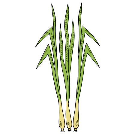 Lemongrass (cymbopogon), or lemon grass, barbed wire grass, silky heads, citronella grass. Culinary herb, medicinal plants, spicy. Leaves and root. Hand drawn ink illustration. For cosmetics, labels.