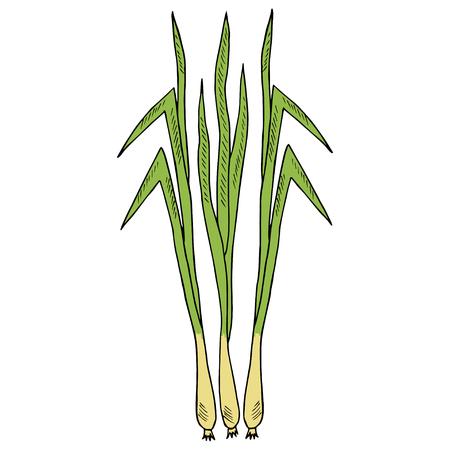Zitronengras (Cymbopogon) oder Zitronengras, Stacheldrahtgras, seidige Köpfe, Zitronengrasgras. Küchenkraut, Heilpflanzen, würzig. Blätter und Wurzel Hand gezeichnete Tintenillustration. Für Kosmetika, Etiketten. Standard-Bild - 88678992