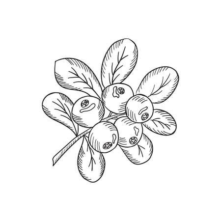 Cowberry sketch new Vektorgrafik