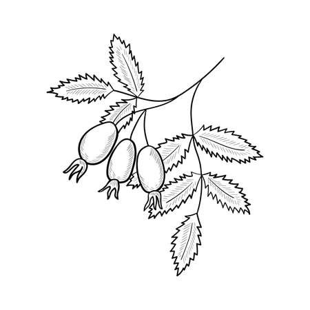 rose hip, sketch