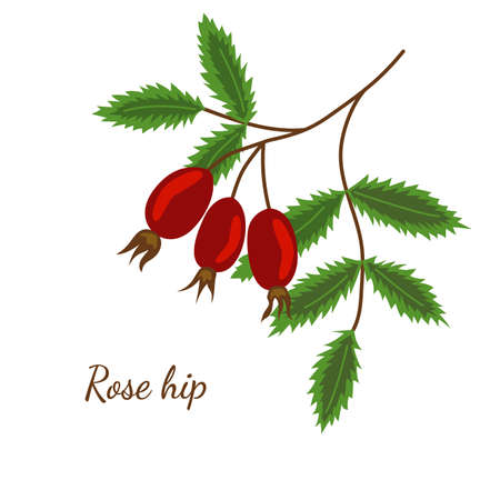 rose hip sketch illustration