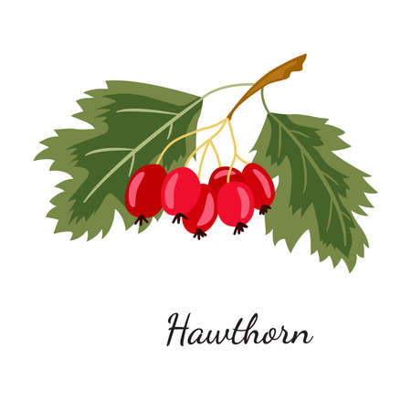 Hawthorn sketch mon color