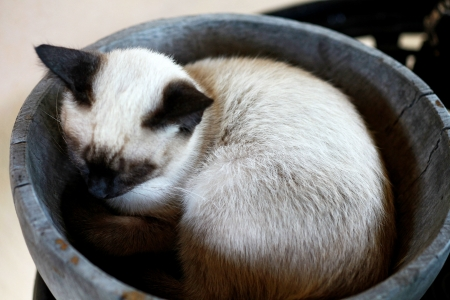 Siamese cat sleeping in the basket photo