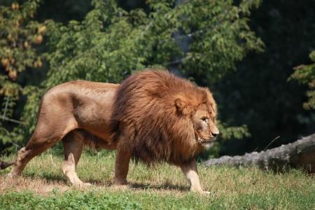 enclosures: big adult lion walking