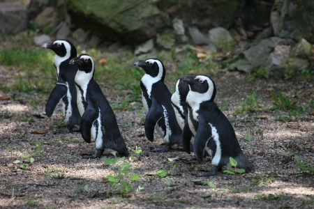 peck: A peck of penguins standing in a small group Stock Photo