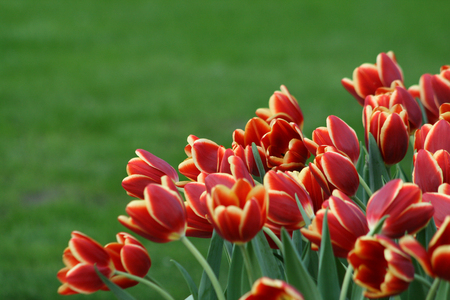 merged: Tulips With Merged Petals of Red and Orange With Green Background